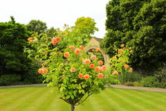 Blossoming rosebush Stock Photos