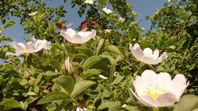 Blossoming rosehips. On the background of blue sky, white, or varying shades of the rainbow, in white, yellow, lilac, violet, red beautiful spring flowers and stock video