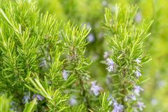 Blossoming rosemary plant. Close-up of flowers of blossoming rosemary plant or Rosmarinus officinalis stock images