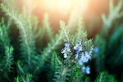 Blossoming rosemary plants with flowers on green bokeh herb background. Rosmarinus officinalis angustissimus Benenden. Blue field. Copy space Royalty Free Stock Image