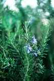 Blossoming rosemary plants with flowers on green bokeh herb background. Rosmarinus officinalis angustissimus Benenden. Blue field. Copy space Stock Photos
