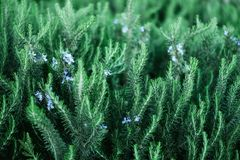 Blossoming rosemary plants with flowers on green bokeh herb background. Rosmarinus officinalis angustissimus Benenden. Blue field. Copy space Stock Photography