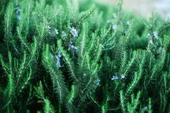 Blossoming rosemary plants with flowers on green bokeh herb background. Rosmarinus officinalis angustissimus Benenden. Blue field. Copy space Royalty Free Stock Photography