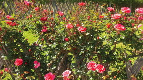 Blossoming roses plant stock video