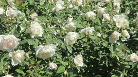 Blossoming roses plant stock video footage