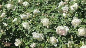 Blossoming roses stock video footage