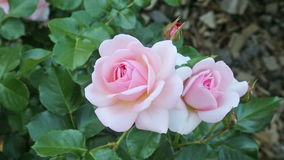 Blossoming roses stock video