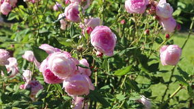 Blossoming roses plant stock footage