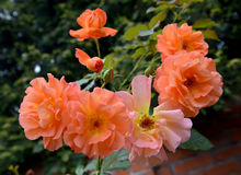 The blossoming roses of salmon color, close up.  stock image