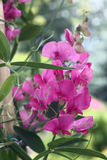 Blossoming runaway. Royalty Free Stock Photography