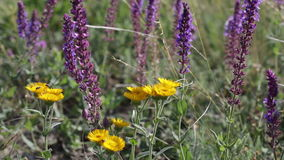 Blossoming sage and yellow flowers stock video footage