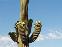 Blossoming saguaro II. Close-up of saguaro in bloom, an older one with arms Stock Photo