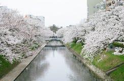 Blossoming sakura. In the city, Japan Stock Image