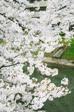 Blossoming sakura. In the city, Japan Royalty Free Stock Images
