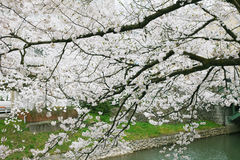 Blossoming sakura Royalty Free Stock Image