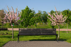 Blossoming sakura and bench Royalty Free Stock Photography