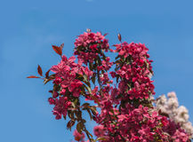 Blossoming of sakura branch on background blue sky Stock Photo