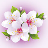 Blossoming sakura branch- japanese cherry tree. Beautiful pink cherry blossom,  on purple background. Stylish floral wallpaper. Vector illustration Royalty Free Stock Photography