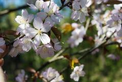 Blossoming sakura Royalty Free Stock Photos