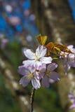 Blossoming sakura Royalty Free Stock Photo