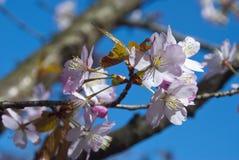 Blossoming sakura Stock Image
