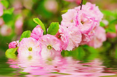 Blossoming of sakura flowers Royalty Free Stock Images