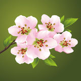 Blossoming sakura - japanese cherry tree Royalty Free Stock Photos