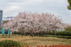 Blossoming Sakura in March Royalty Free Stock Images