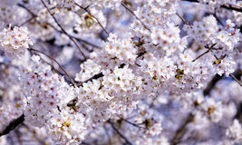 Blossoming sakura with pink flowers Royalty Free Stock Images