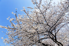 Blossoming sakura with pink flowers Stock Images