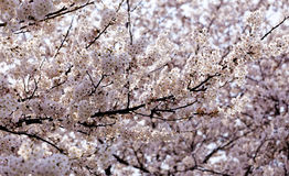 Blossoming sakura with pink flowers Royalty Free Stock Photography