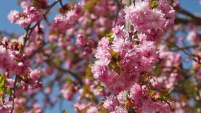 Blossoming Sakura tree in the breeze stock footage