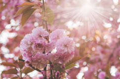 Blossoming sakura tree with pink flowers and sun, sunny background Royalty Free Stock Images