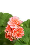 Blossoming salmon geranium Royalty Free Stock Photo