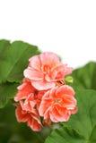 Blossoming salmon geranium Royalty Free Stock Photo