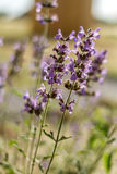 Blossoming salvia, flora of Israel Royalty Free Stock Images
