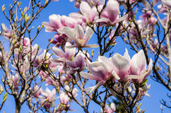 Magnolia tree Royalty Free Stock Image