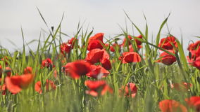 Blossoming scarlet poppies stock video footage