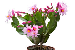 Blossoming Schlumbergera on white Royalty Free Stock Photo