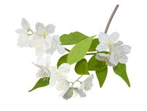 The blossoming season. Blooming tree with delicate white flowers. Twig with flower buds. Green and white drawing of a awakening tree in spring. For Logo Stock Photography