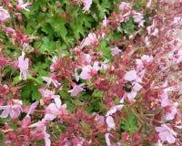 Blossoming Shrub. Pretty Pink Springtime Blossoming Shrub stock images