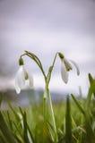 2 blossoming snodrops Стоковое фото RF