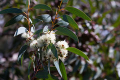 Blossoming soap mallee  plant Royalty Free Stock Image