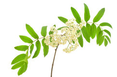 Blossoming Sorbus aucuparia. (mountain ash) isolated on a white background Royalty Free Stock Image