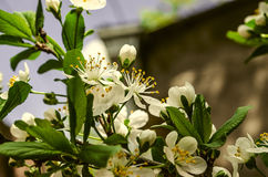 Blossoming sprig of plum in the garden. Of a house Stock Photography