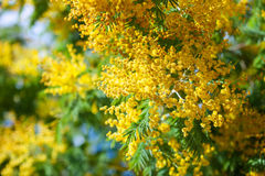 Blossoming spring Acacia dealbata Stock Images