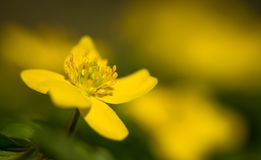 Blossoming spring anemone. Colorful macrophotography. Closeup of yellow spring wildflowers of anemones. Picturesque spring nature Stock Photography