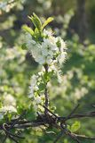Blossoming spring branch of cherry tree. Against natural green background Stock Images