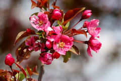 Blossoming spring branches. Pink blossoms on a spring cherry tree Stock Image