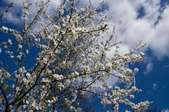 Blossoming spring branches of cherry treest. Blossoming spring branches of cherry tree against blue sky with clouds Royalty Free Stock Photos